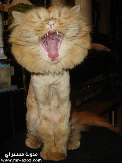 قطوه تقلد اسد